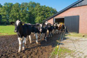 Duurzame voedselvoorziening: goede inzet van vee draagt bij
