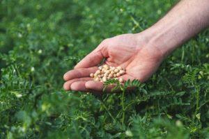 Hoop op teelt duurzame Hollandse kikkererwt steeds groter