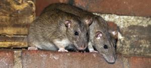 Toekomstvisie van Pest Free Benelux op het bestrijden van ratten en muizen