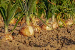 Gezonde bodem basis voor kringlooplandbouw