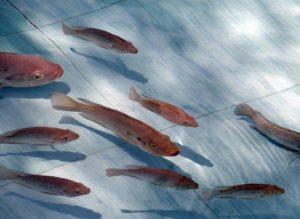 Onderzoek naar combinatie aardwarmte, slateelt en viskweek gestart